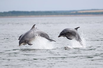 Dolphins at Golf View Nairn